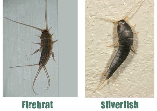 silverfish bug what you need to know. Black Bedroom Furniture Sets. Home Design Ideas